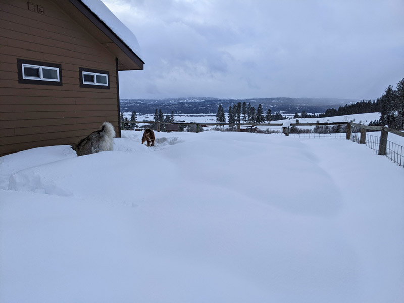 dogs digging in snow
