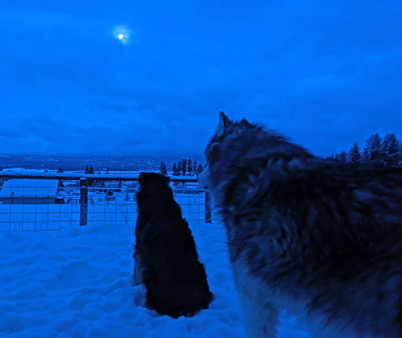 dogs, moon