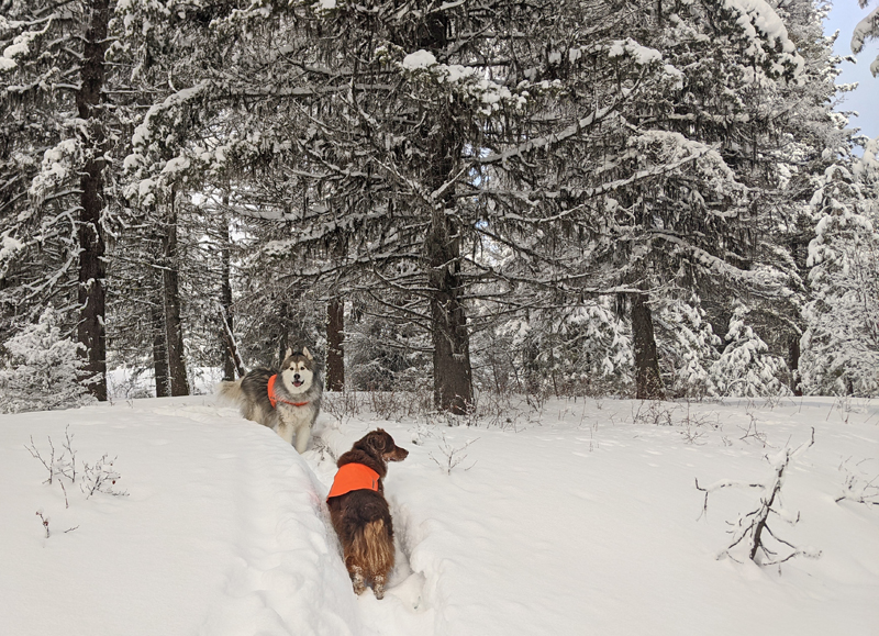 dogs, snow, trees