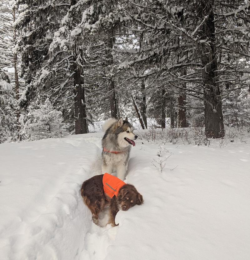 dogs, snow