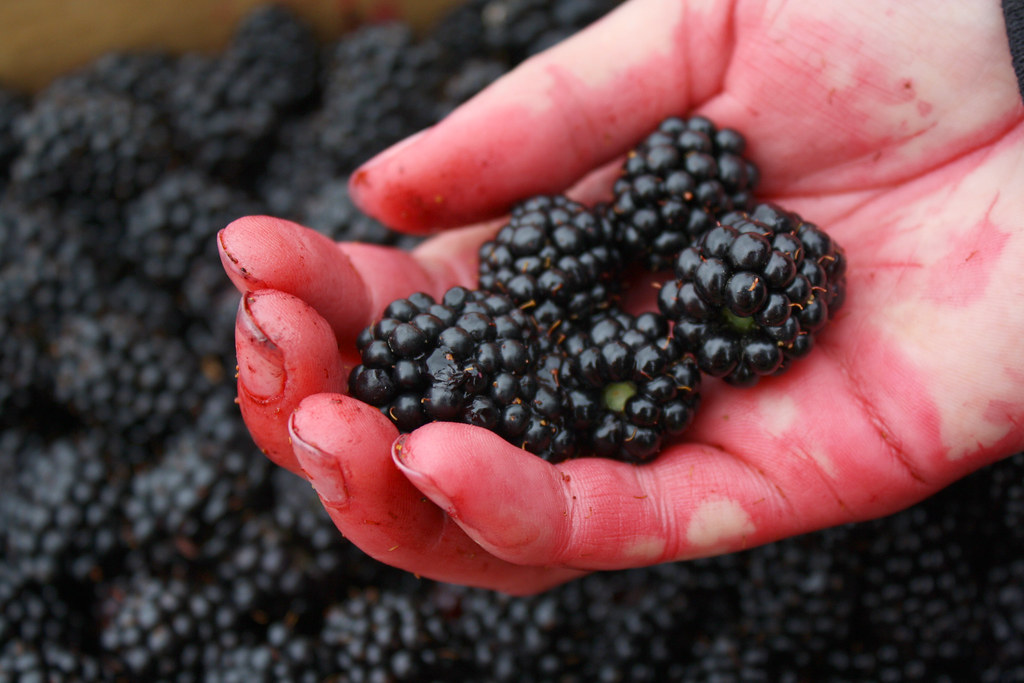 juice-stained hand holding blackberries