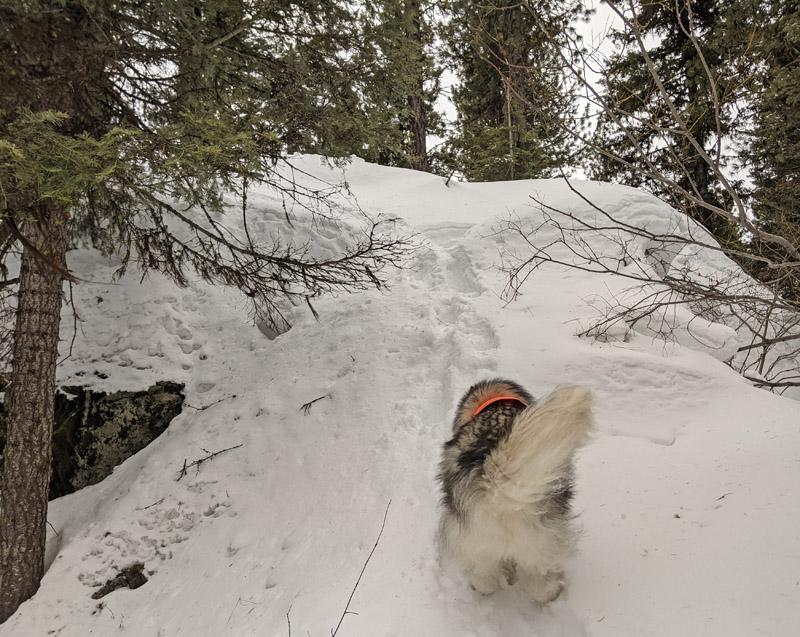 dog running up snowy boulder, trees
