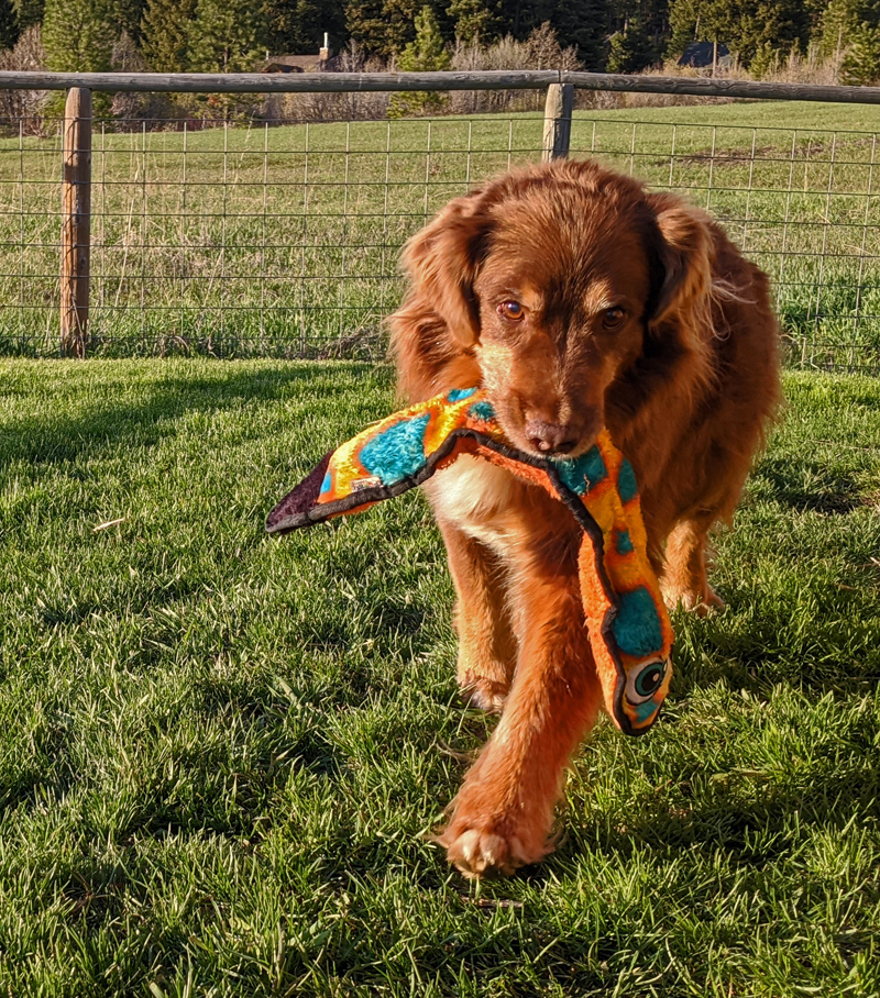 dog with toy in mouth on a lawn