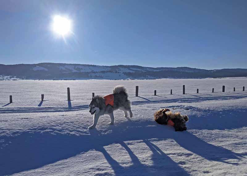 dogs playing on snow, morning sun