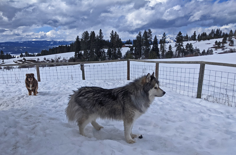 dogs in snowy yard, vole