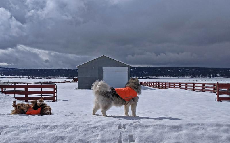 dogs, snow, fences