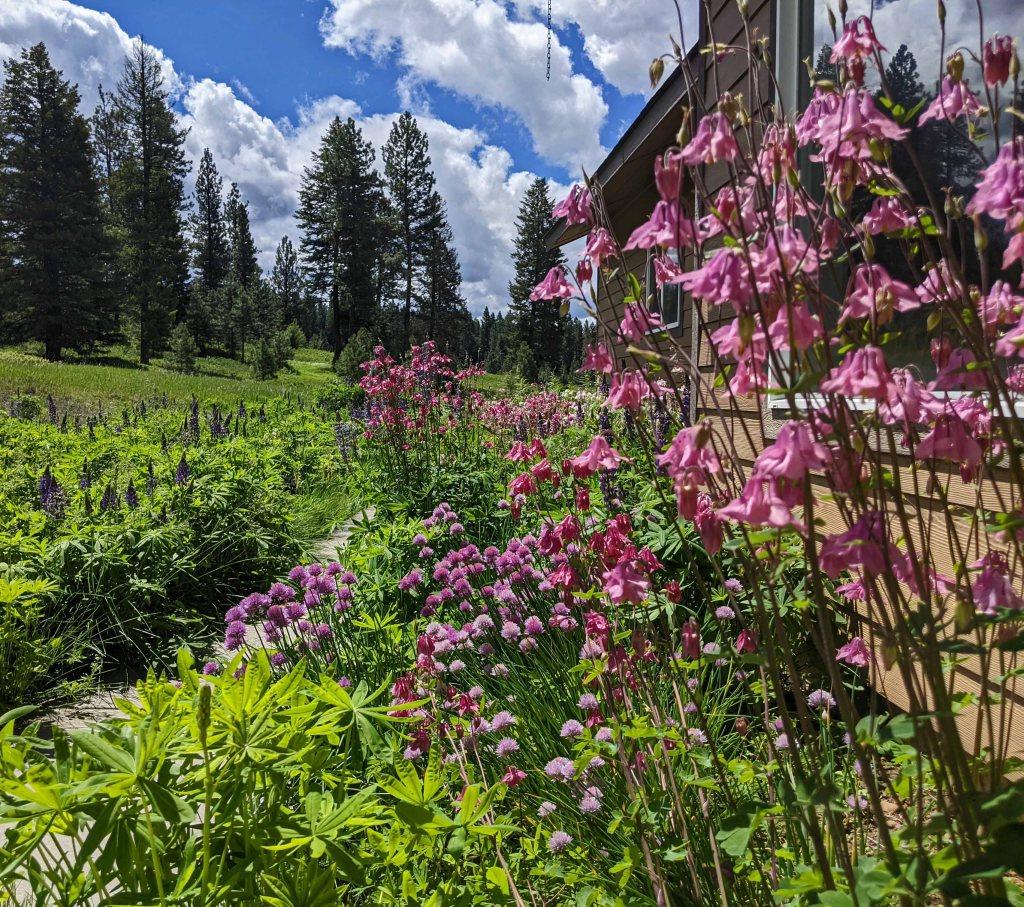 Wildflower garden of lupine, columbine and chive.