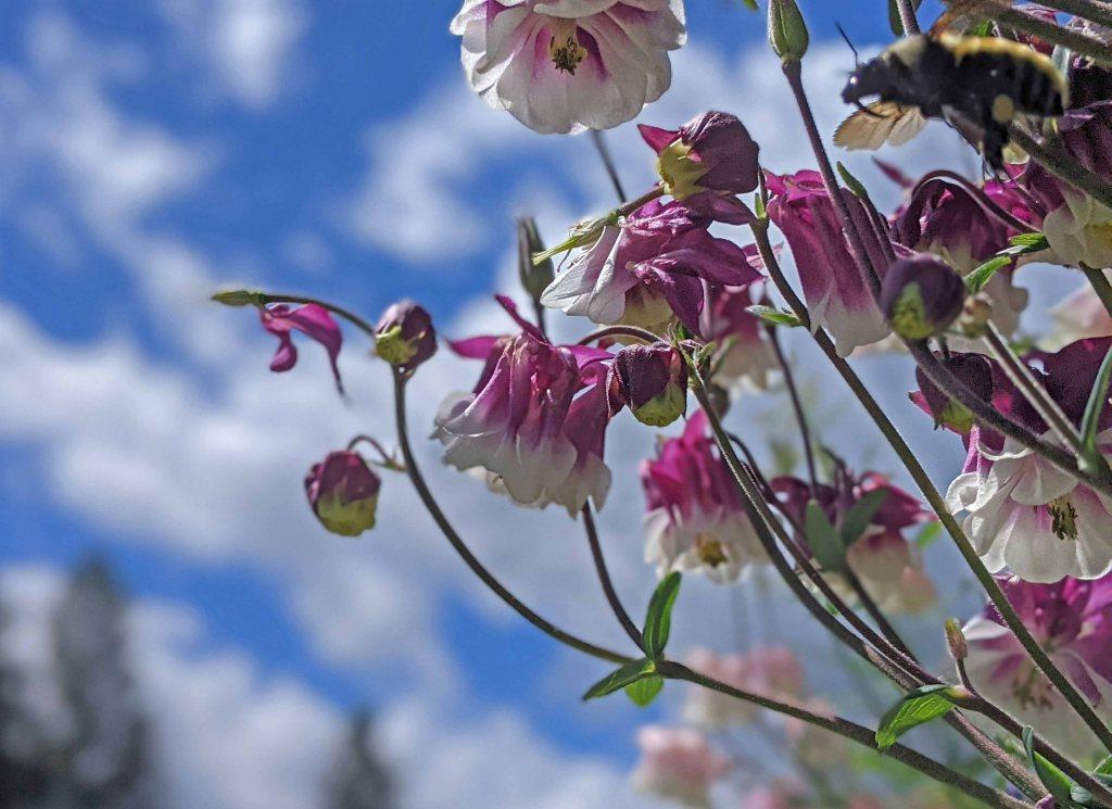 Large bumblebee flying into closeup of columbine flowers.