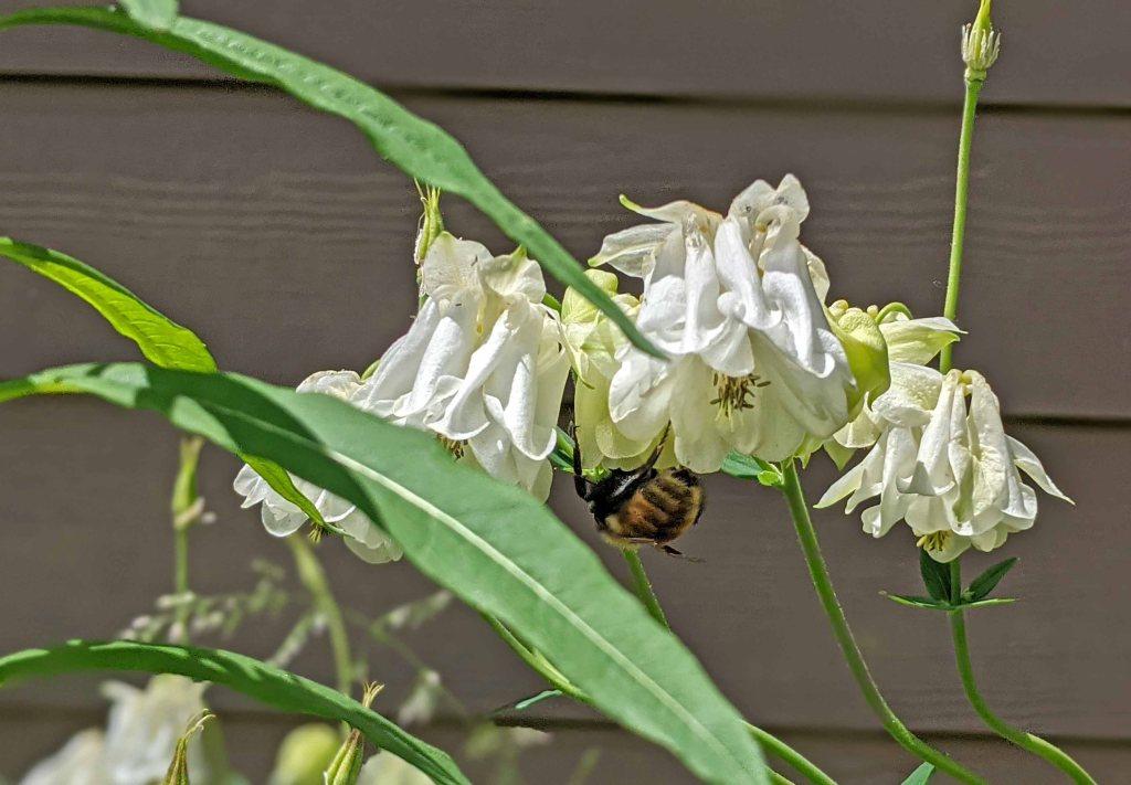 Bumblebee feeding on a columbine flower.