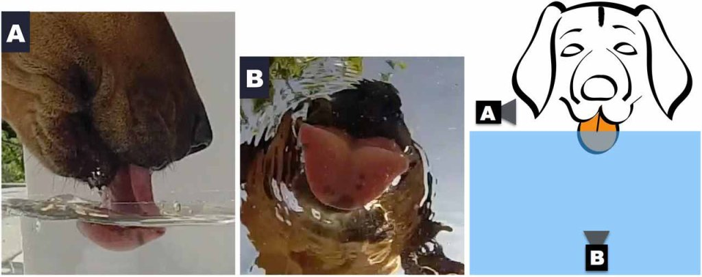 graphic of two camera angles of dog drinking from water bowl