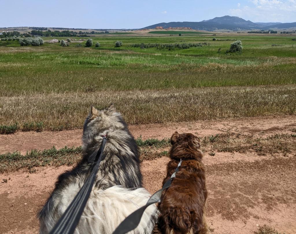 dogs, open landscape