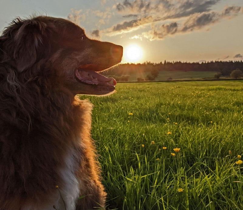 Finn in field at sunset
