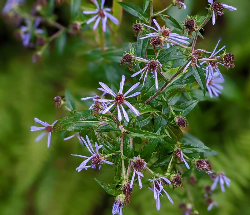 purple-stemmed aster flowers, also purple