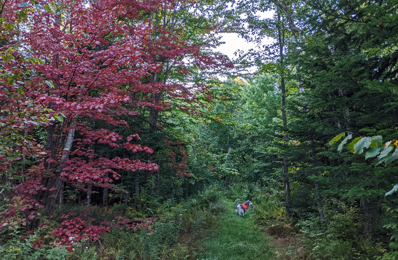 path through woods with bright red maple tree