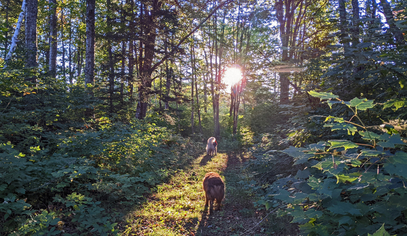 dogs on forest path, morning sun through maple and birch trees