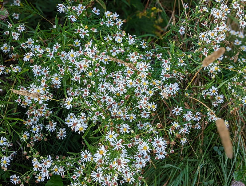 flat-topped white aster flowers