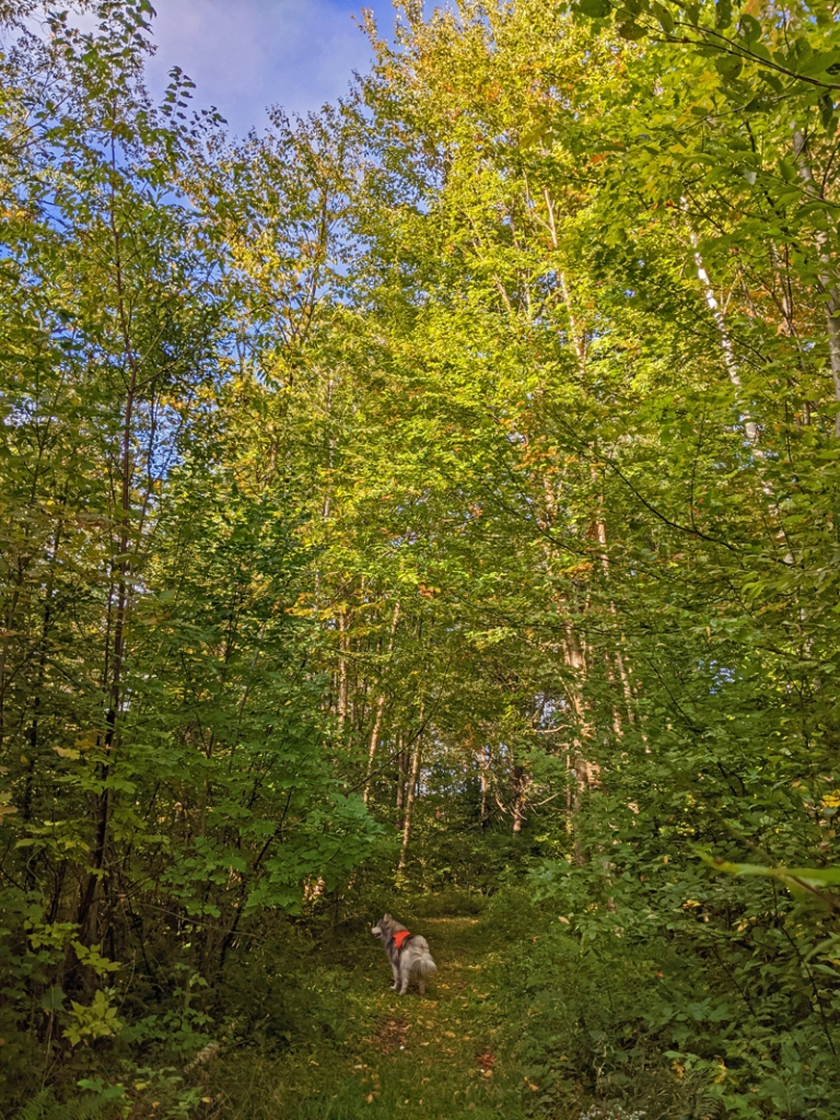 dog on path through tall birch and maple trees