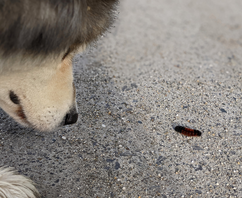 dog nose next to woolly bear caterpillar on road