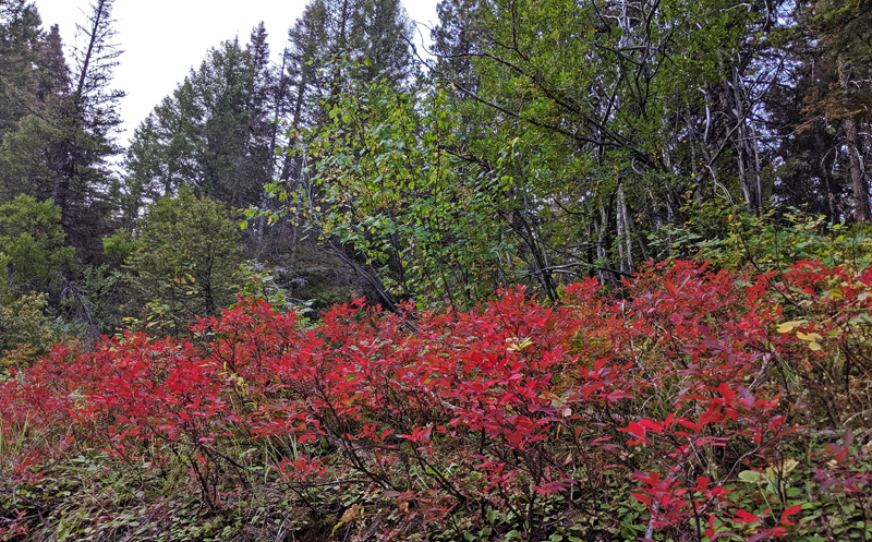 Idaho huckleberry shrubs with red leaves in fall color