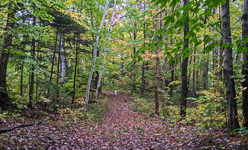 dogs on leaf-covered path through woods