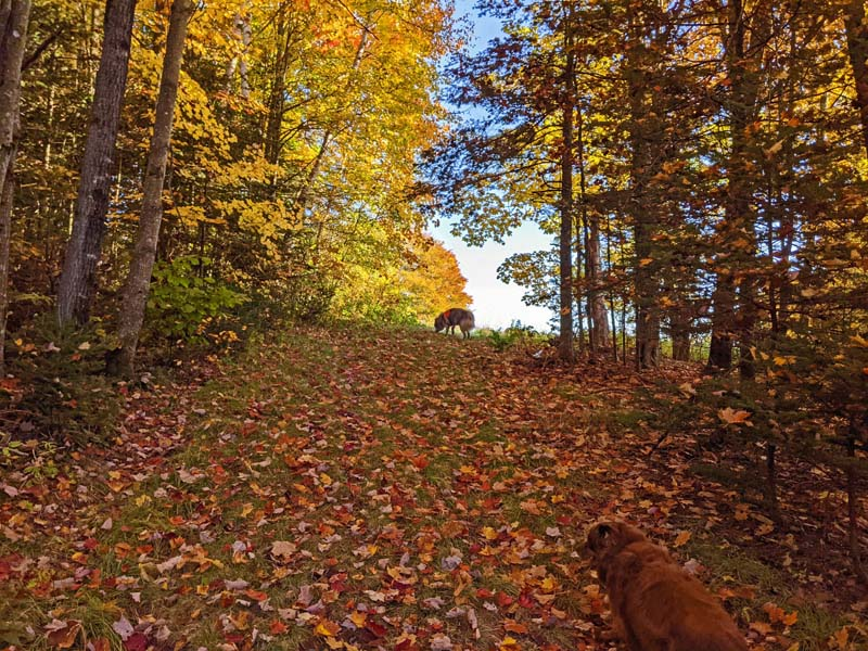 dogs on leaf-covered hill in woods