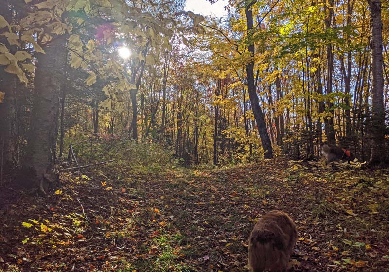sunlight through trees with yellow leaves, dog on leaf-covered trail