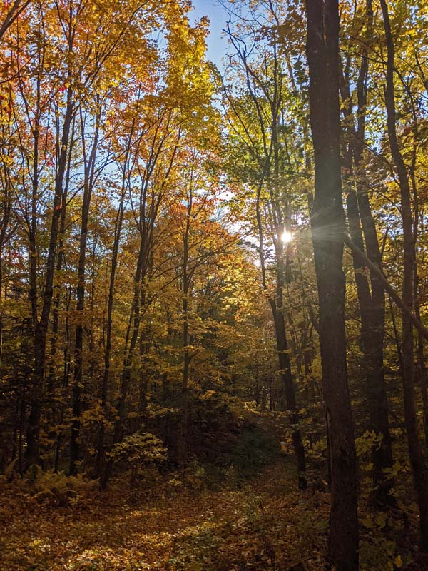 sunlight through tall maple trees with yellow and orange leaves