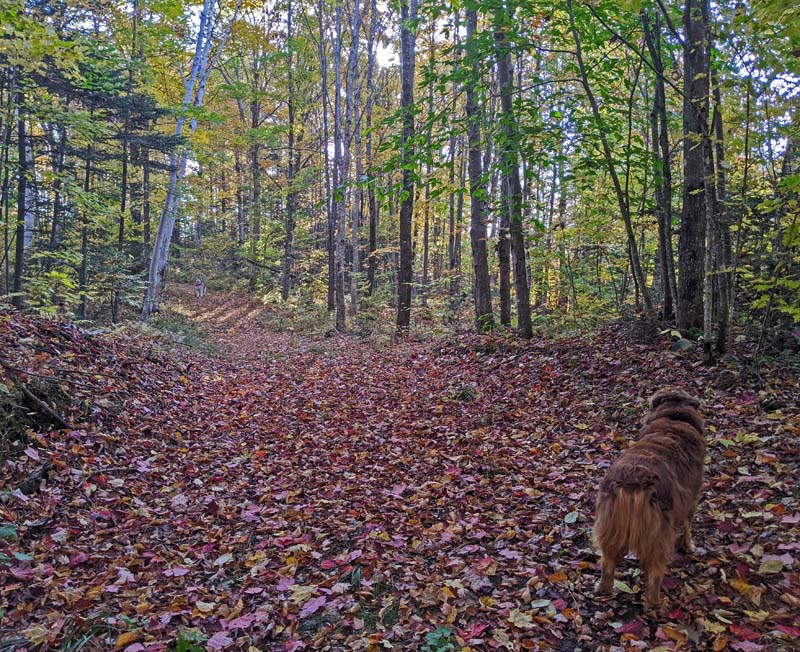 dogs on leaf-covered trail in woods