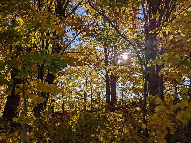 sunlight through yellow maple leaves