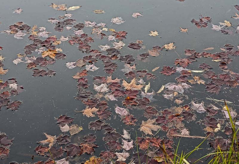 red and brown maple leaves on pond surface