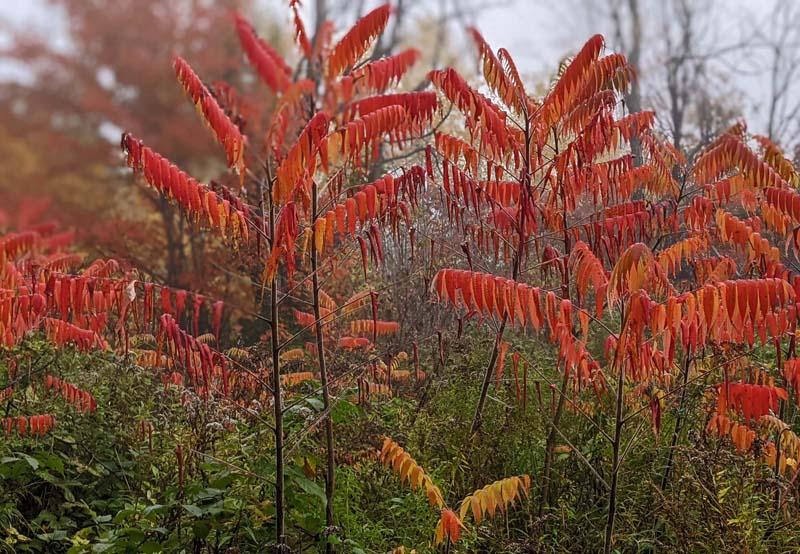 Bright orange sumac leaves.