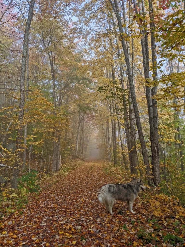 dog on leaf-covered trail leading toward fog