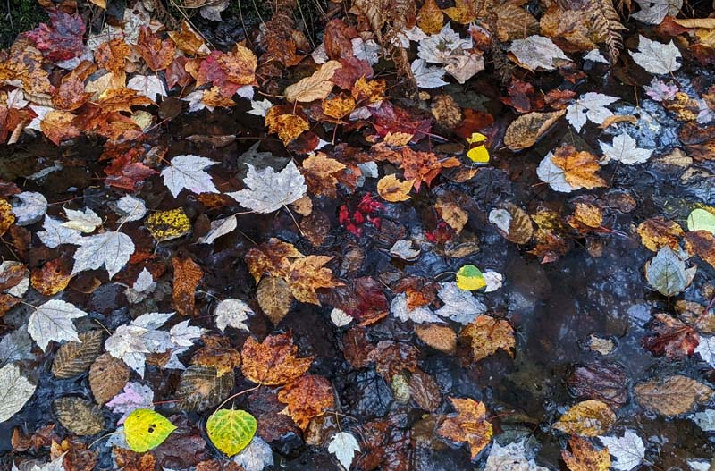puddle with leaves covering its surface