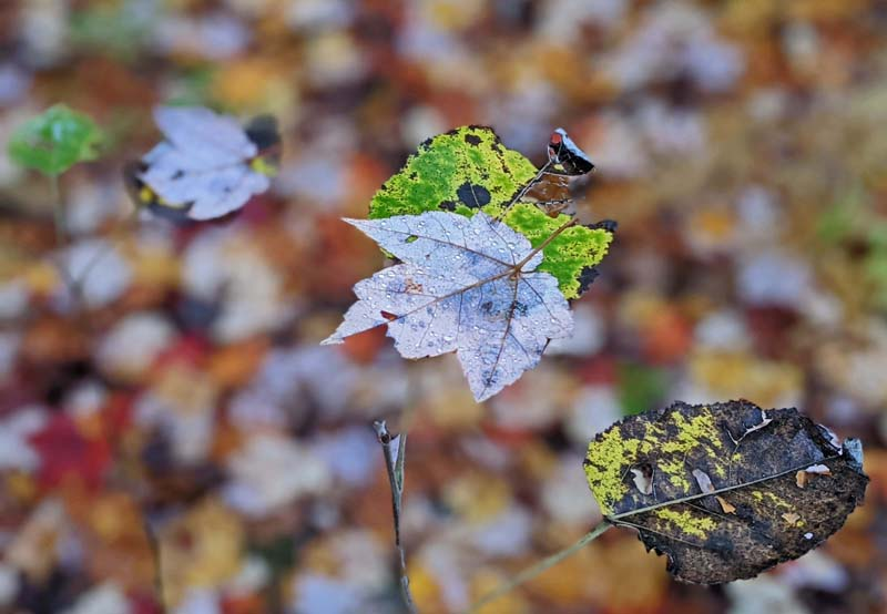 fallen maple leaves resting on young alder leaves not yet fallen off their tree