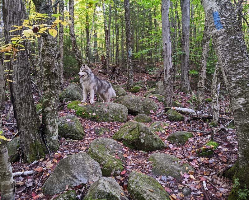 dog on boulders on Peacham Bog Trail