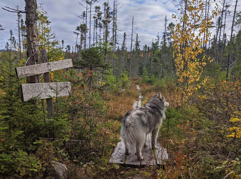 dog on Peacham Bog trail puncheon