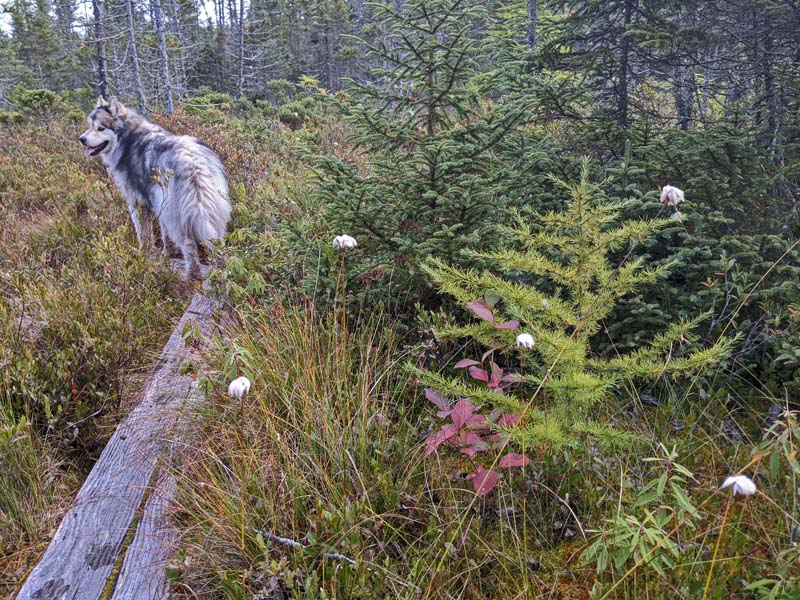 small tamarack tree next to dog on puncheon on trail in bog