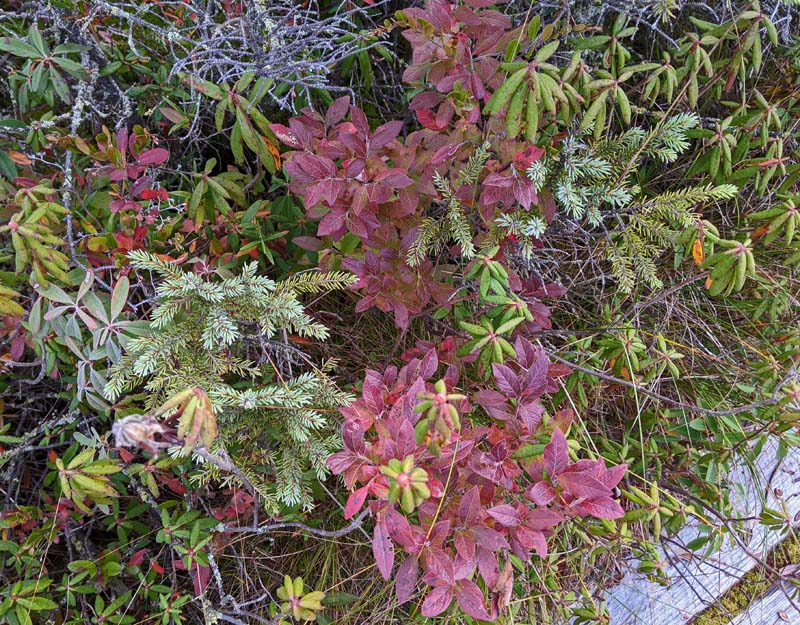 bright red leaves of huckleberry shrub among other green plants