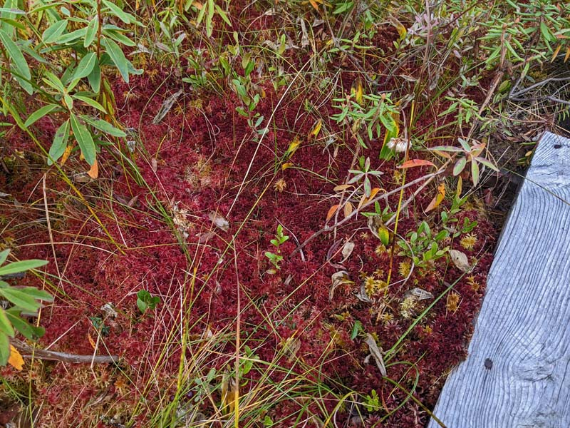 bright red sphagnum moss next to trail puncheon