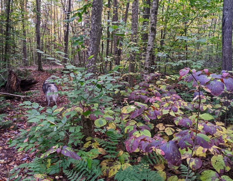 purple-leaved hobblebush plant alongside trail in forest