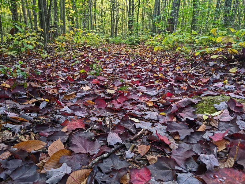 fallen leaves carpeting trail in green forest