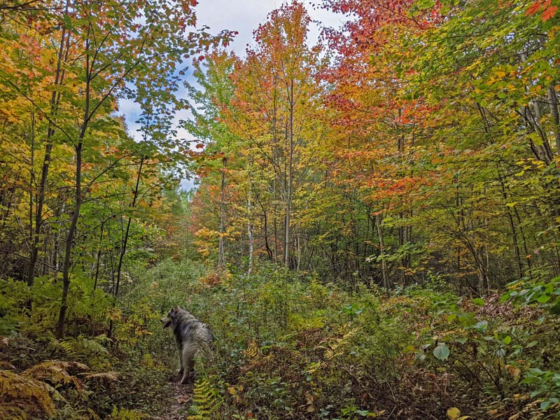 trees in fall colors, dog on trail