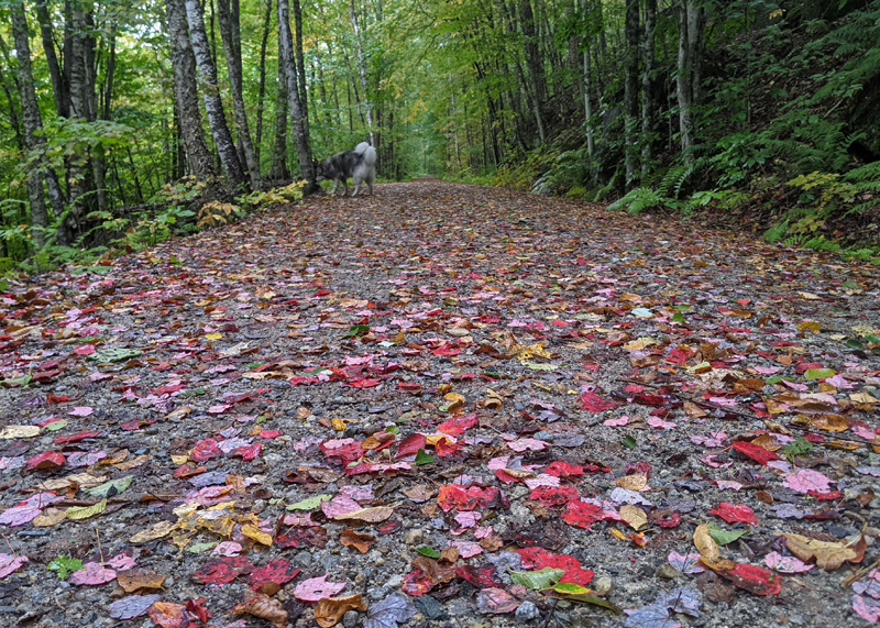 dropped leaves of red, orange, yellow and brown covering a rail trail