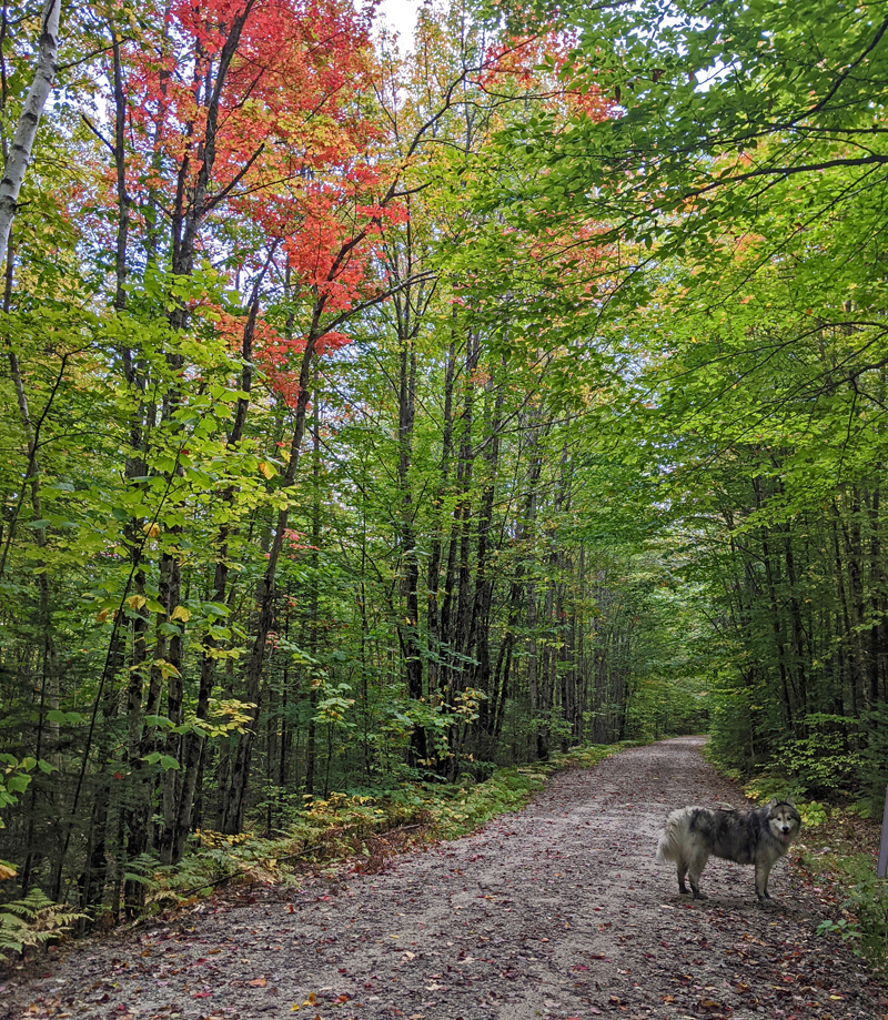 dog on trail, trees with fall foliage on both sides