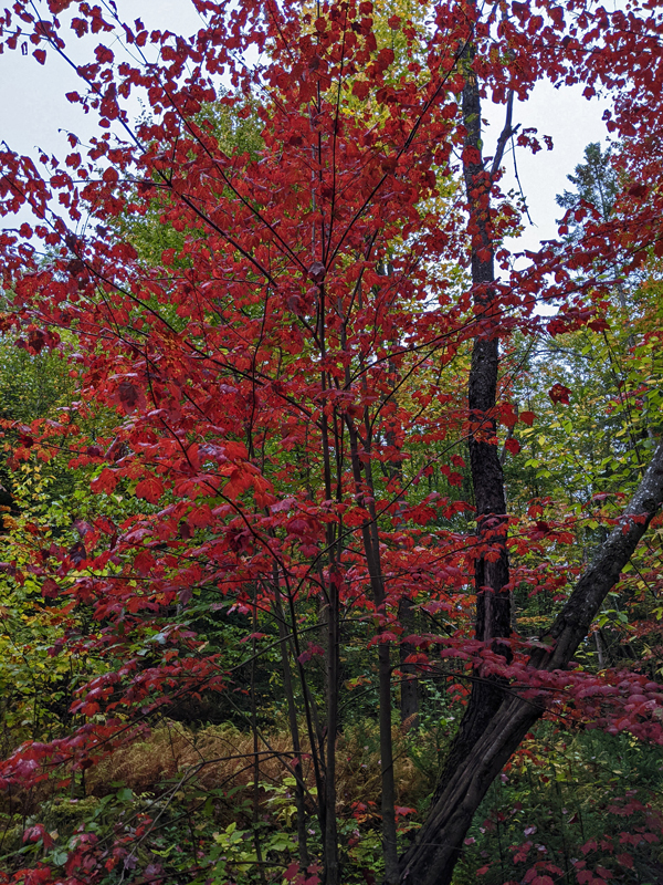 maple with red leaves in woods