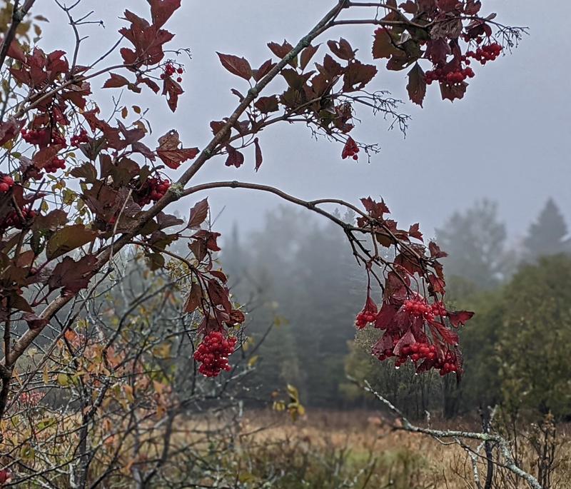 chokecherry tree leaves and berries