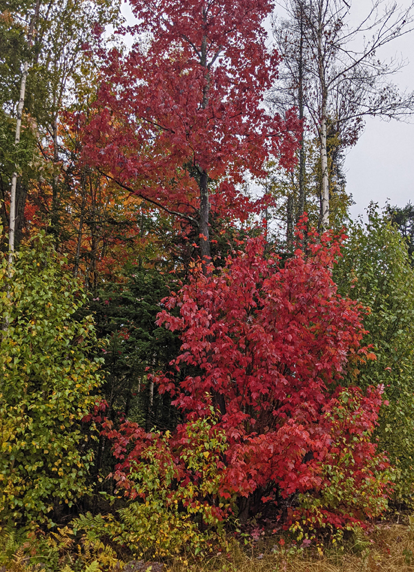 maple with bright red leaves