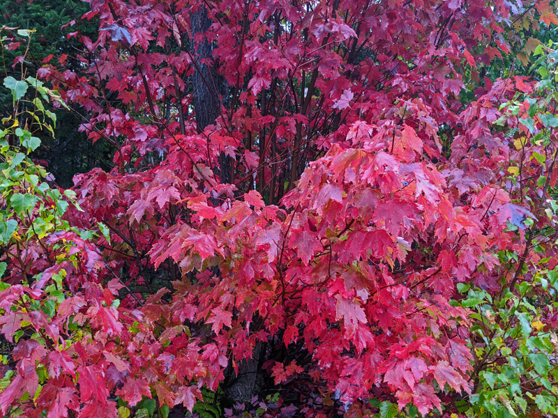 closer view of red maple leaves