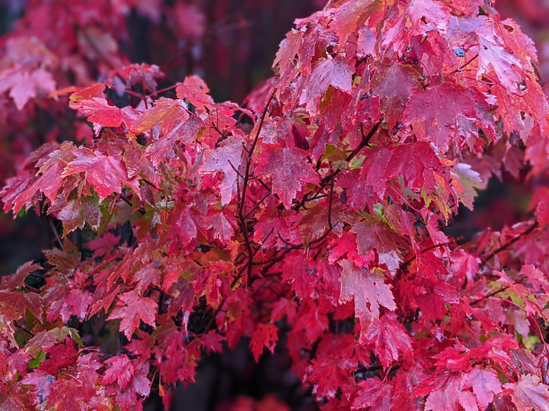 closeup of red maple leaves
