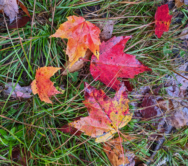 brightly colored maple leaves on ground